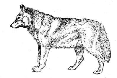 Внешний облик волка