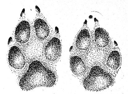 Лапы собаки рисунки