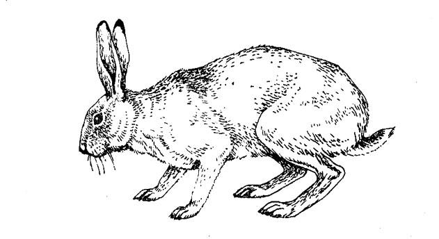 Внешний облик зайца