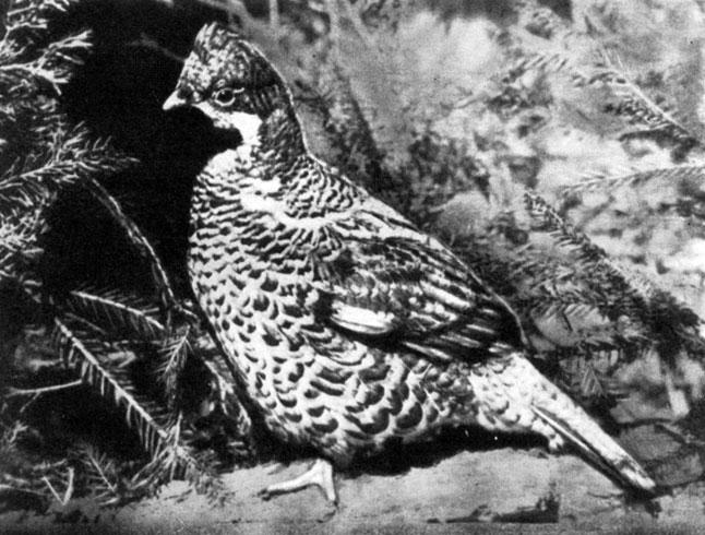 Лесная пернатая дичь и охота на неё 1983 Дёжкин В