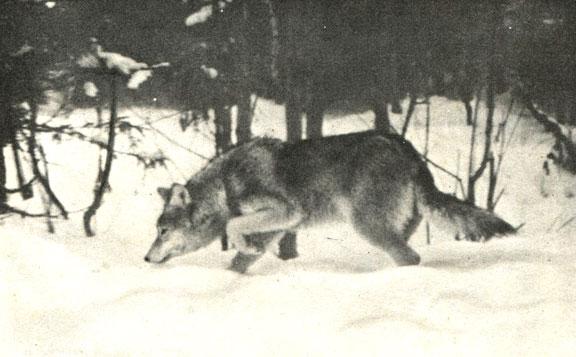 В Кировской области на охотника напали волки — Охотник промысловик