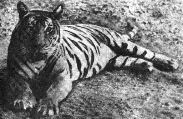 Рис. 1. Бенгальский, индийский, или королевский, тигр. По Л. Бертэну (1954)