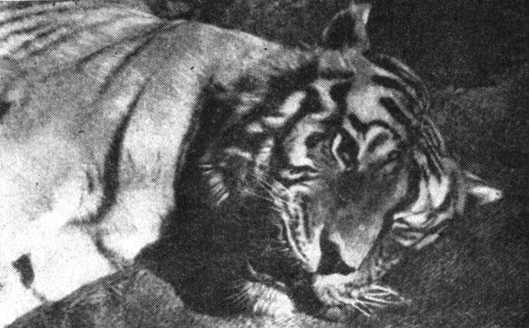 Рис. 2. Голова амурского тигра (старого самца), убитого в октябре 1960 г. на берегу р. Амура у с. Марьино Облучинского района в бывшей Еврейской автономной области. Фото В. Д. Яхонтова,