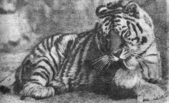 Рис 3. Корейский, или уссурийский, тигр-самец. Фото А. П. Жандармова