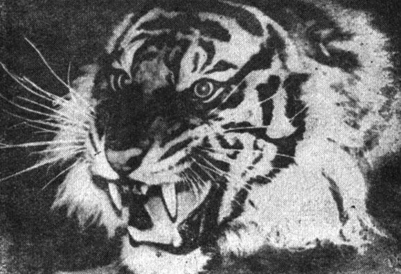 Рис. 4. Голова суматранского тигра. По Г. Датье (1957)